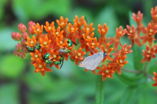Butterfly milkweed_Asclepias tuberosa and insects